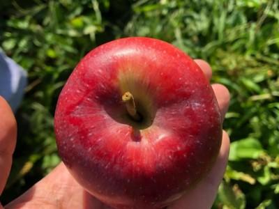 祝  いわい りんご