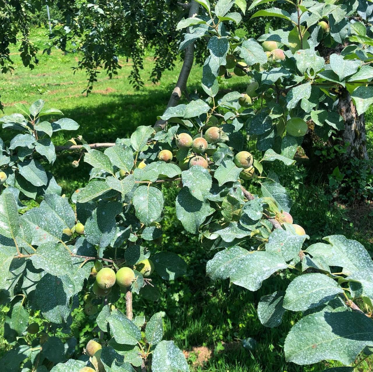 りんご 有機 山形