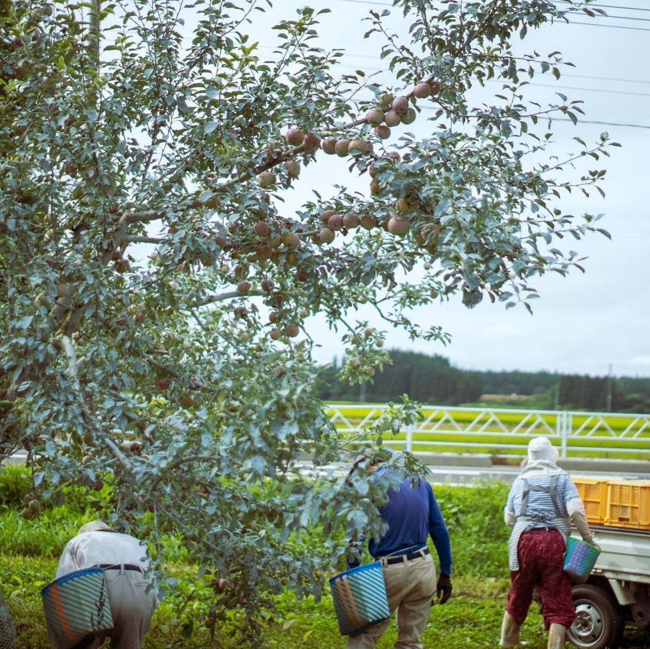 山形 りんご 無農薬