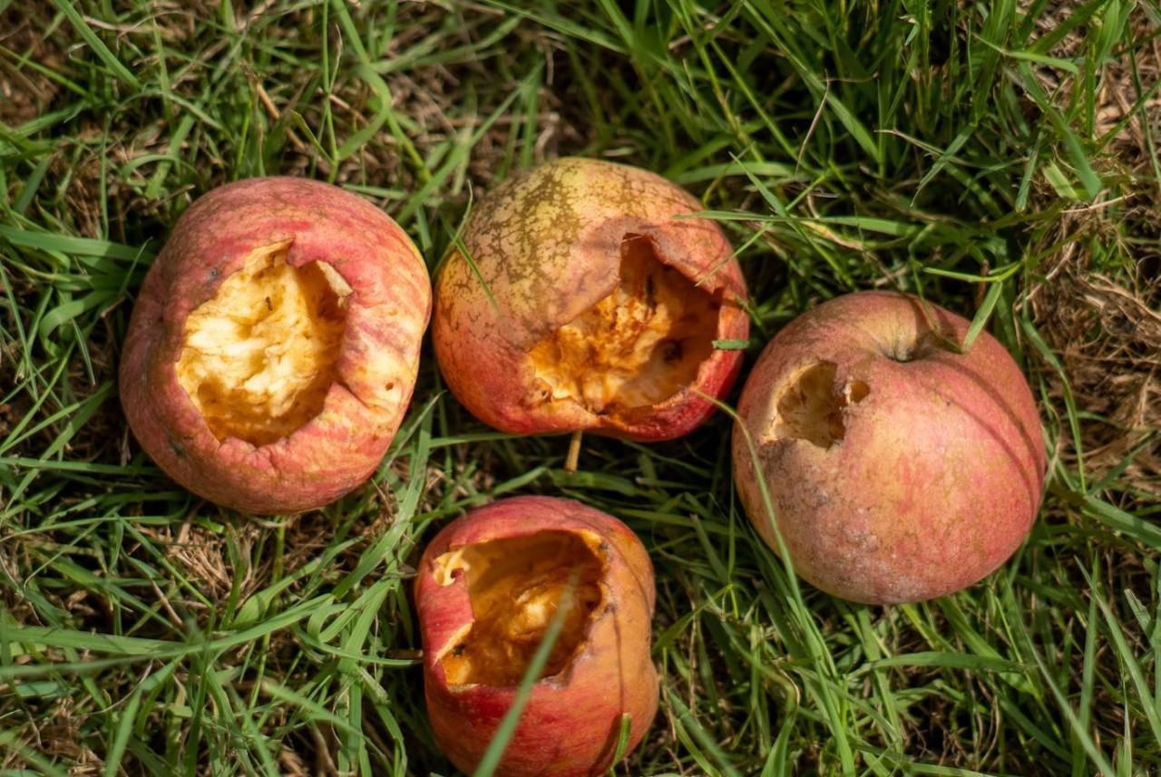 鳥害 リンゴ